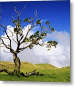 Hawaii Koa Tree Metal Print