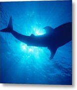 Hawaii, Whale Shark Metal Print
