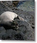 Hawaiian Monk Seal Ilio Holo I Ka Uana Metal Print