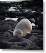 Hawaiian Monk Seal Metal Print