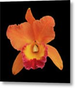 Potinara Hawaiian Thrill, Paradise Metal Print