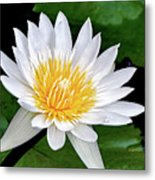 Hawaiian White Water Lily Metal Print