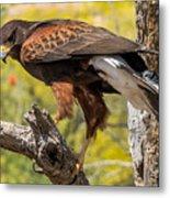 Hawk In A Tree Metal Print