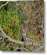 Hawk In Hiding Metal Print