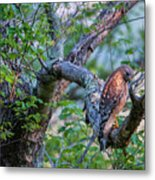 Hawk In Sunlight Metal Print