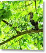 Hawk In Sycamore Metal Print