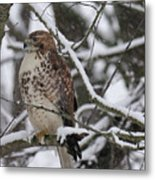 Hawk In Winter Metal Print