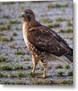 Hawk On A Walk Metal Print