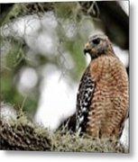 Hawk On Watch Metal Print