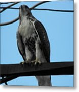 Hawk Urban Hunting Metal Print