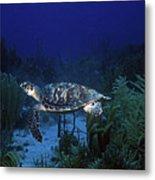 Hawksbill Sea Turtle 1 Metal Print