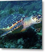 Hawksbill Sea Turtle 3 Metal Print