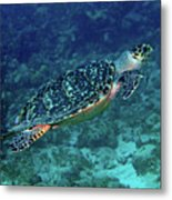 Hawksbill Sea Turtle 5 Metal Print