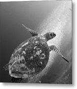 Hawksbill Turtle Ascending Metal Print by Steve Jones