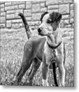 Hdr America Breed Metal Print