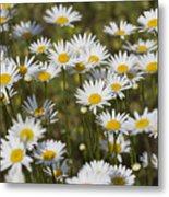 He Loves Me Daisies Metal Print