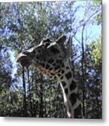 Head Giraffe Metal Print