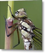 Head Of The Dragonfly Metal Print