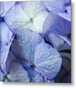 Heavenly Hydrangeas Metal Print