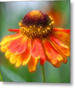 Heavenly Zinnia Metal Print