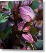 Heliborus Early Flower Buds 1 Metal Print