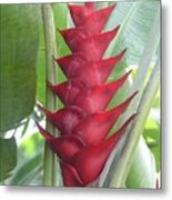 Heliconia Hot Flash Metal Print