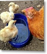 Hen With Her Yellow Chickens Metal Print