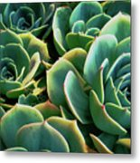 Hens And Chicks Metal Print