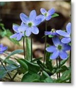 Hepatica Blue Metal Print