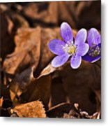 Hepatica Flower Metal Print