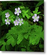 Herb Robert On The Ma At Metal Print