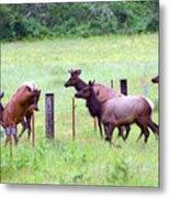 Herd Of Elk Leaping - Western Oregon Metal Print