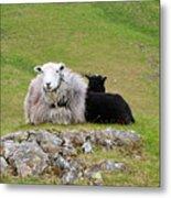 Herdwick Sheep On A Hillside In Cumbria Metal Print