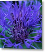 Here's Looking At Bluet Metal Print