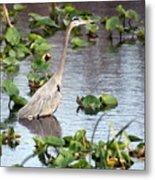 Heron Fishing In The Everglades Metal Print