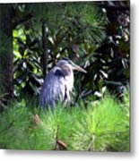Heron On Pinetree Metal Print