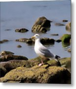 Herring Gull At Charmouth Metal Print