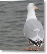 Herring Gull Observing Metal Print
