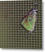 Hessel's Hairstreak Butterfly Metal Print