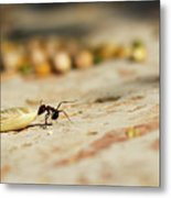 Hey Ant Dragging An Oat Seed Metal Print