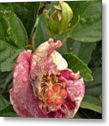 Hibiscus Bloom Closed In The Rain   End View      May           Indiana      Metal Print