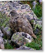 Hidden Ptarmigan Metal Print
