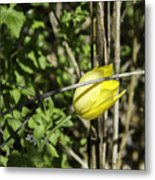 Hidden Yellow Tulip Metal Print