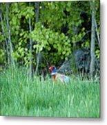 Hiding In The Grass. Pheasant Metal Print