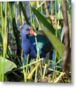 Hiding In The Wetlands Metal Print