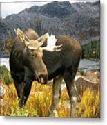 High Country Moose Metal Print