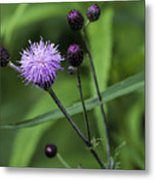 Hill's Thistle Flower And Buds Metal Print