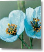 Himalayan Blue Poppy Metal Print