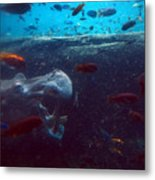 Hippo Eating African Cichlids Metal Print