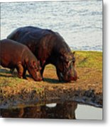 Hippo Mother And Child - Botswana Africa Metal Print